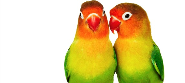 Pair Of Lovebirds Agapornis Fischeri Isolated On White